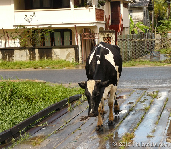 Cow crossing the road in Guyana, South America
