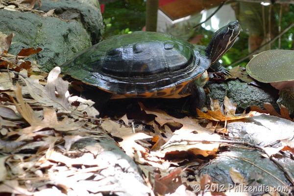 Turtle seen walking around at the Virgina Aquarium